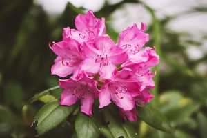 rhododendron-2377022_1280